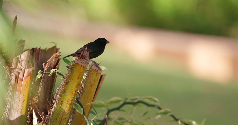 Lesser Antillean Bullfinch Bird on branch, Grenada, West Indies, Caribbean