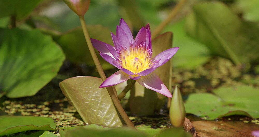 Tropical Flower, water lily, Grenada, West Indies, Caribbean, Central America