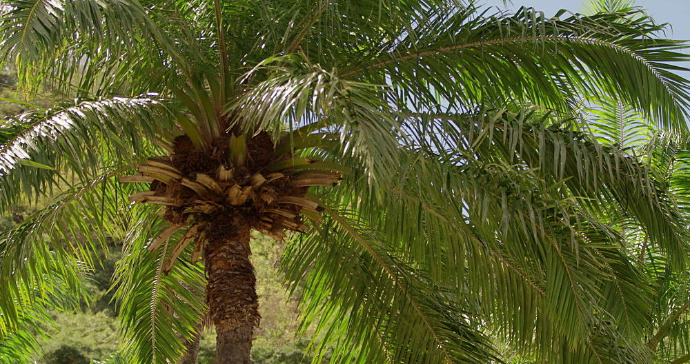 Palm Tree, Grenada, West Indies, Caribbean, Central America
