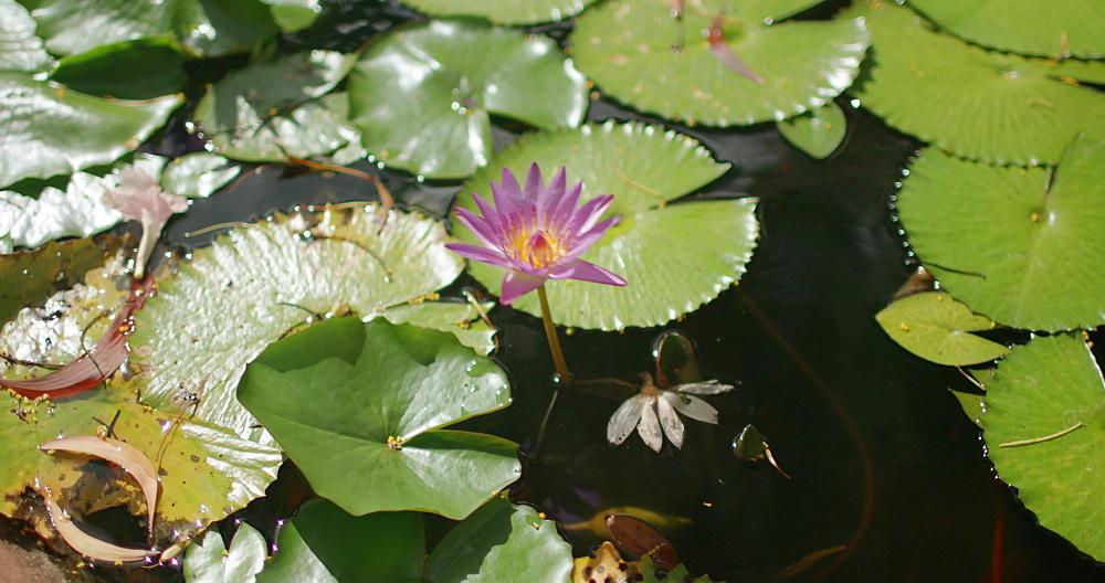 Tropical pond flower in a Grenada Garden, West Indies, Caribbean
