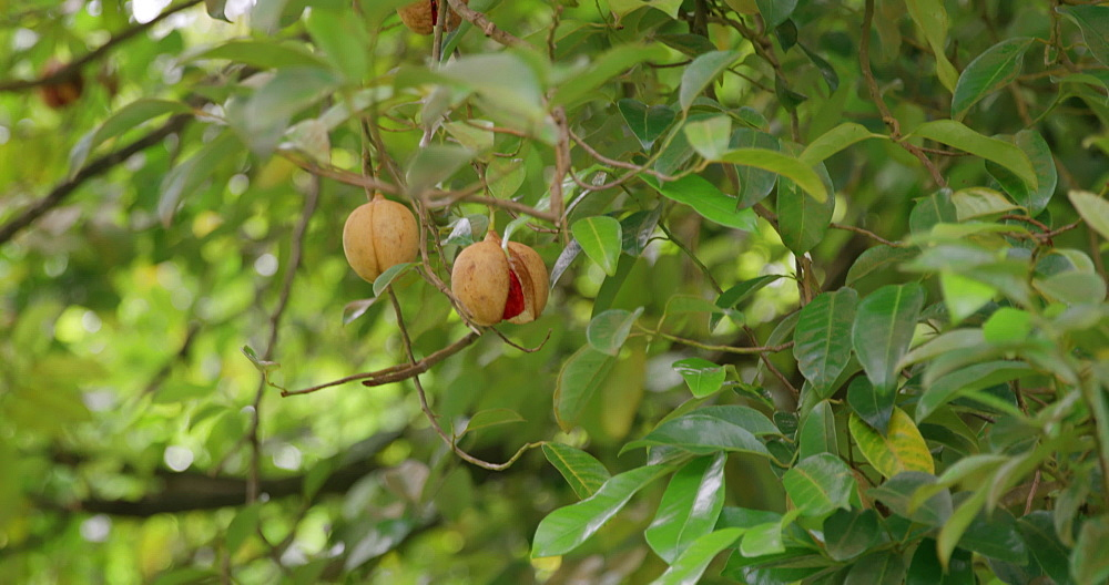 Nutmeg on a tree, Grenada, West Indies, Caribbean