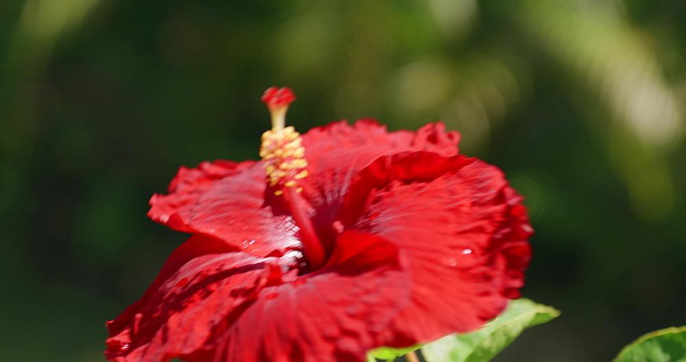 Tropical Flower, Grenada, West Indies, Caribbean