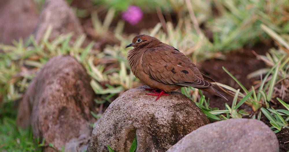 Grenada Dove, Grenada, West Indies, Caribbean