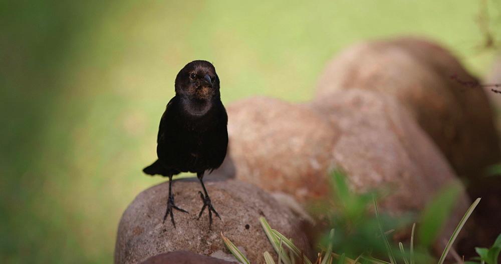 Grenada Blackbird (Grakles), Grenada, West Indies, Caribbean