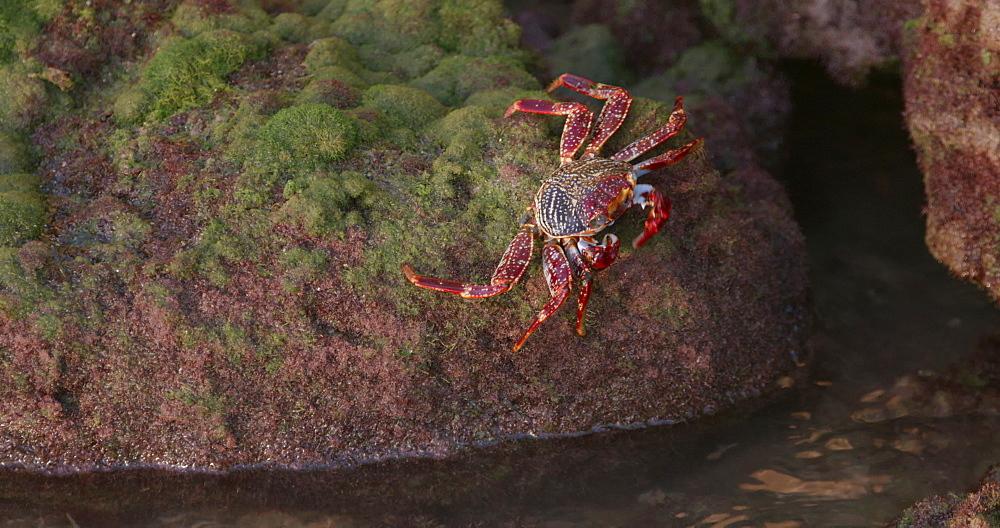 Crab eating on the rocks, Grenada, West Indies, Caribbean