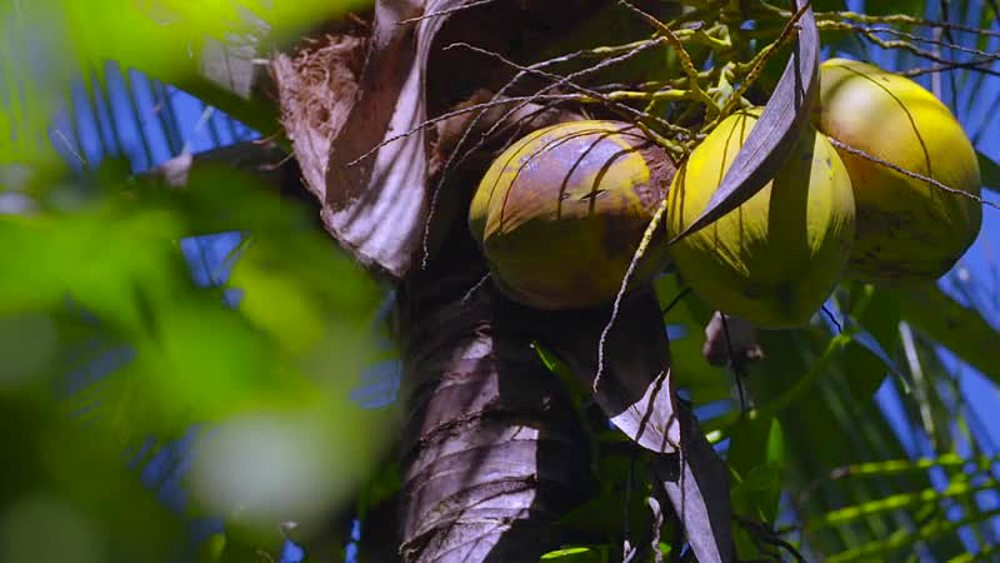 Fruit, Jamaica, West Indies, Caribbean, Central America - 1239-8