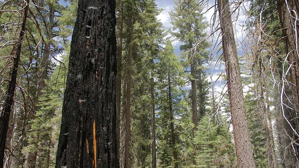Burned down Giant Sequoias at Tuolumne Grove, Yosemite Valley, UNESCO World Heritage Site, California