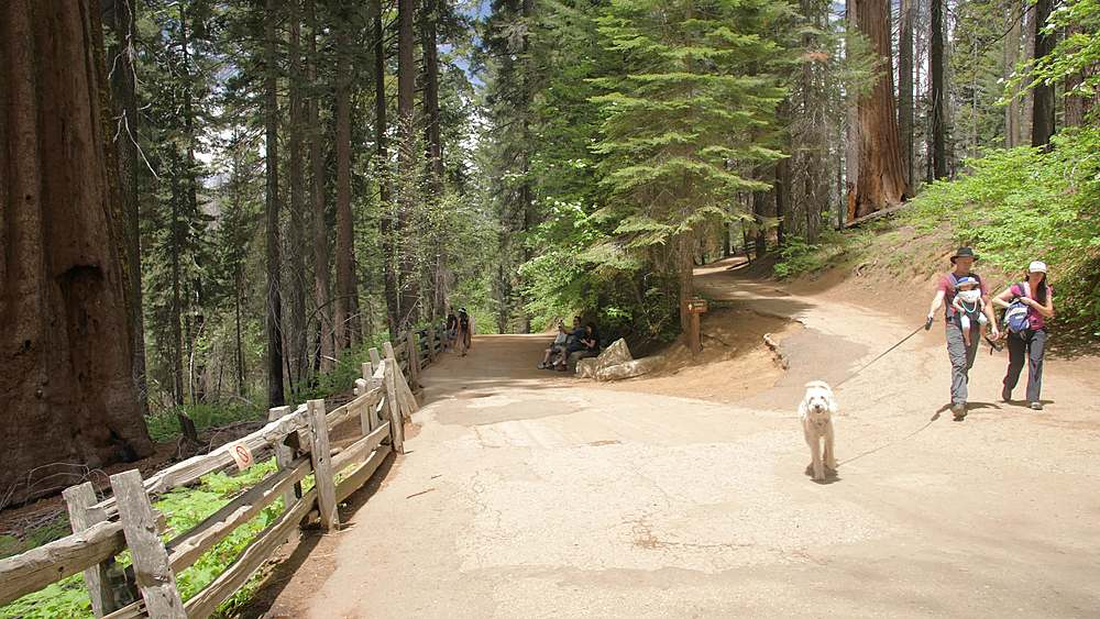 The Big Oak Flat road at Tuolumne Grove and Giant Sequoias, Yosemite Valley, UNESCO World Heritage Site, California