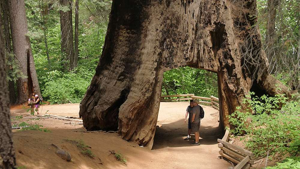 Tourists walking down The Big Oak Flat road at Tuolumne Grove and Giant Sequoias, Yosemite Valley, UNESCO World Heritage Site, California