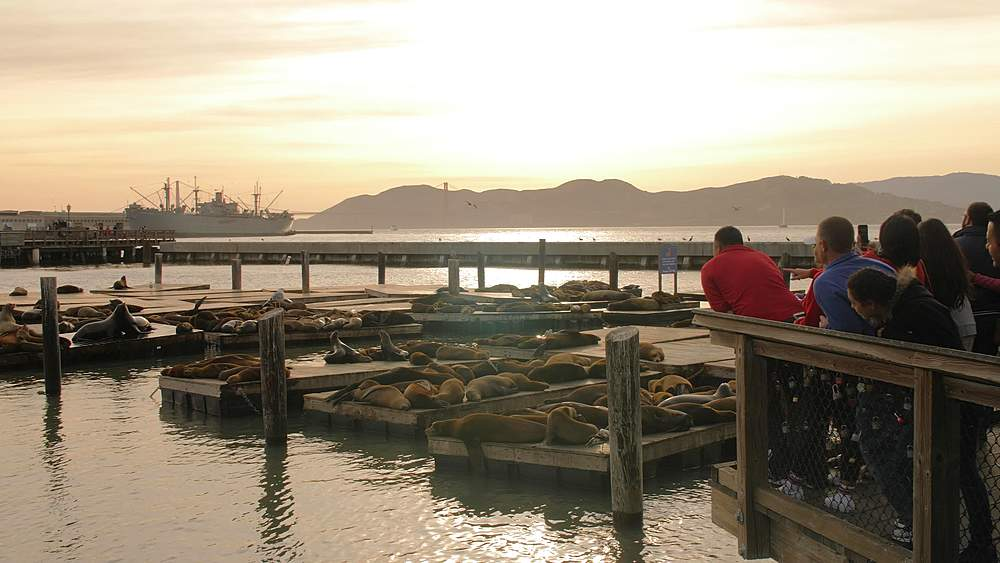 Sea Lions on Pier 39 in Fishermans Wharf at sunset, San Francisco, California, United States of America, North America - 1276-1356