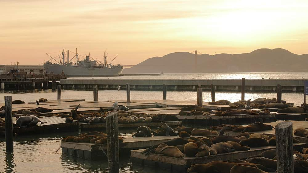 Sea Lions on Pier 39 in Fishermans Wharf at sunset, San Francisco, California, United States of America, North America - 1276-1357