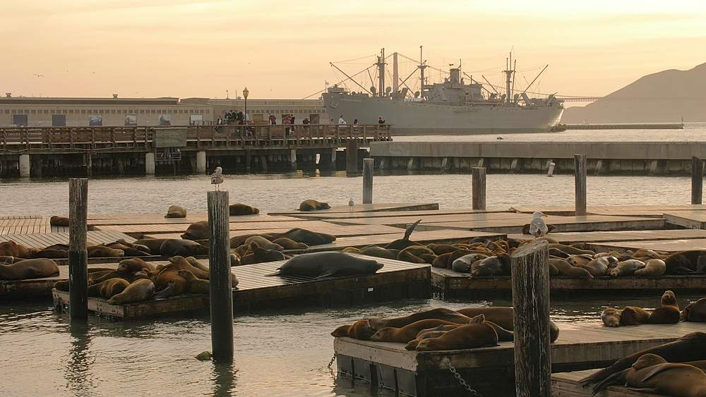 Sea Lions on Pier 39 in Fishermans Wharf at sunset, San Francisco, California, United States of America, North America - 1276-1359