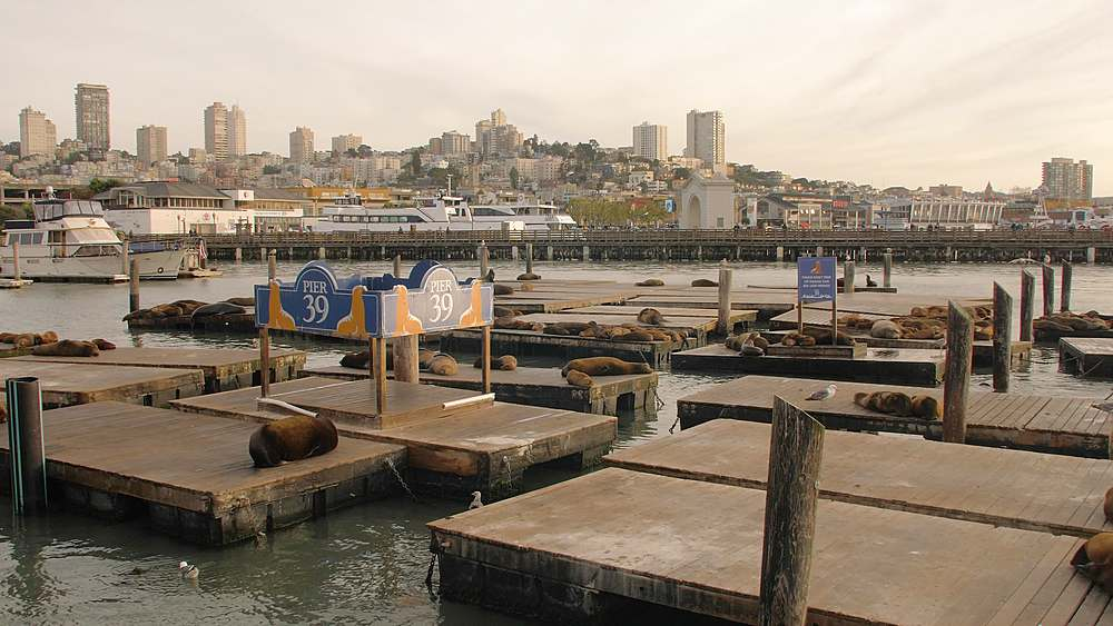 Sea Lions on Pier 39 in Fishermans Wharf at sunset, San Francisco, California, United States of America, North America - 1276-1360