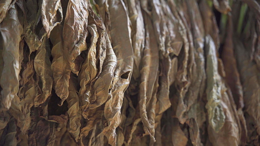 Dried Tobacco leaves in Vinales National Park, UNESCO World Heritage Site, Pinar del Rio Province, Cuba, West Indies, Caribbean, Central America