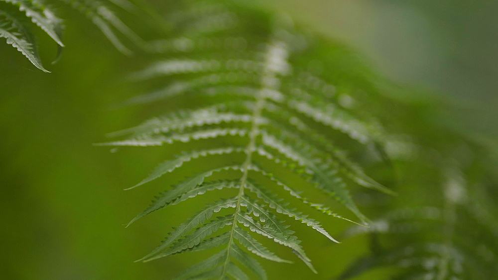 Close up of a fern plant at Doi Inthanon National Park, Chiang Mai, Thailand, Southeast Asia, Asia