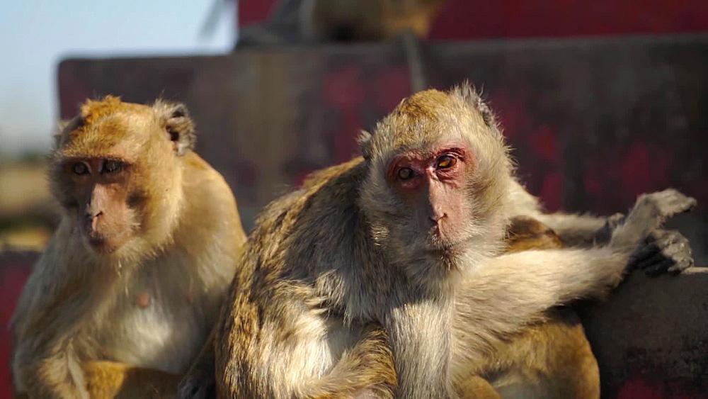 Video of wild monkeys at Khao Takiab (Chopsticks Hill) Temple or Monkey Mountain, Hua Hin district, Prachuap Khiri Khan, Thailand - 1276-2581