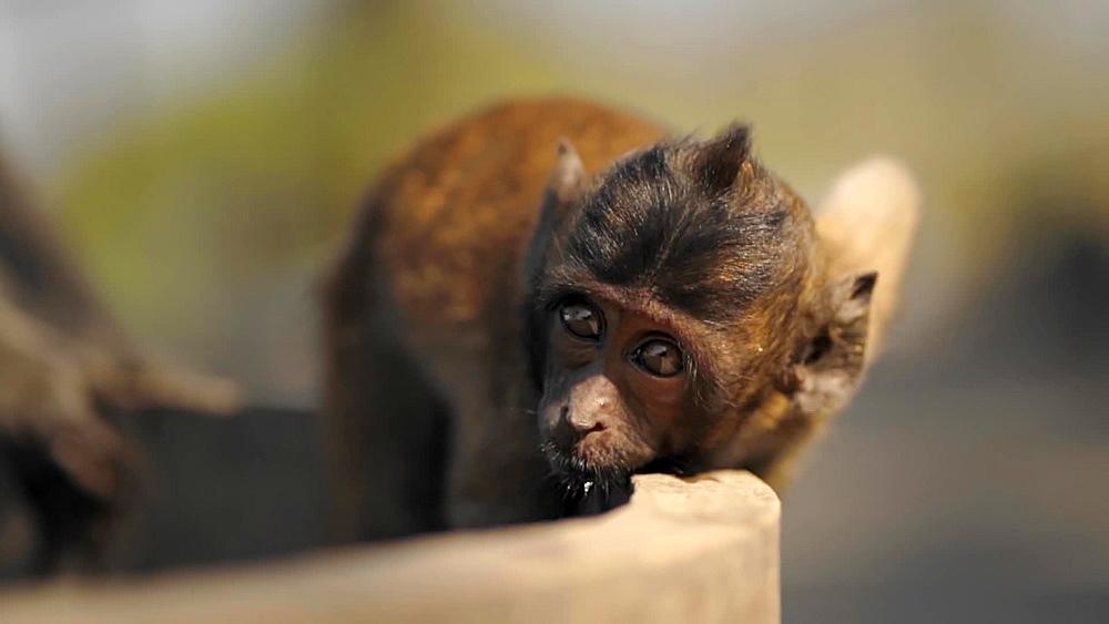 Video of wild monkeys at Khao Takiab (Chopsticks Hill) Temple or Monkey Mountain, Hua Hin district, Prachuap Khiri Khan, Thailand