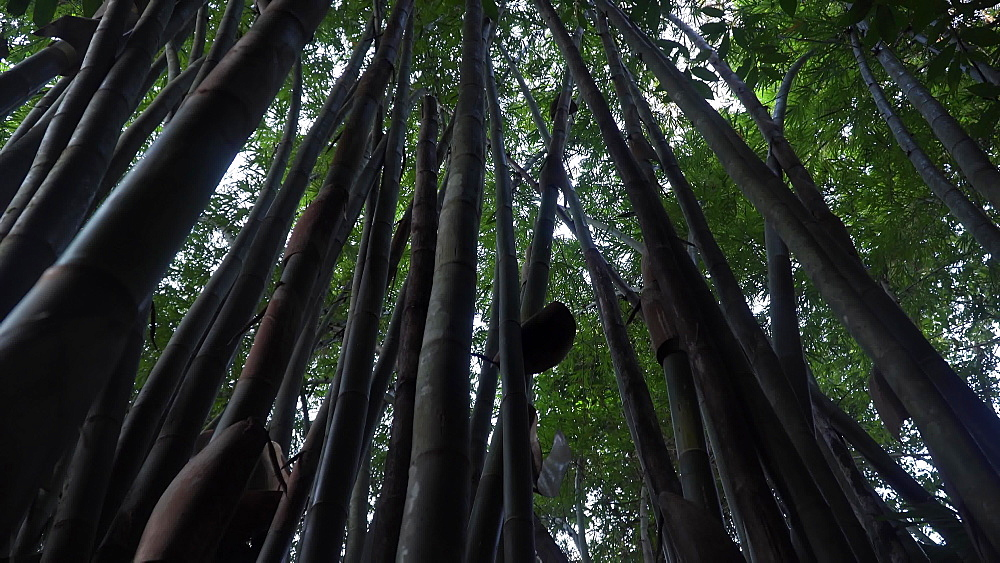 4k video of Bamboos near Wat Suwan Kuha or Cave Temple, Buddha Cave in Phang Nga, Thailand, South East Asia