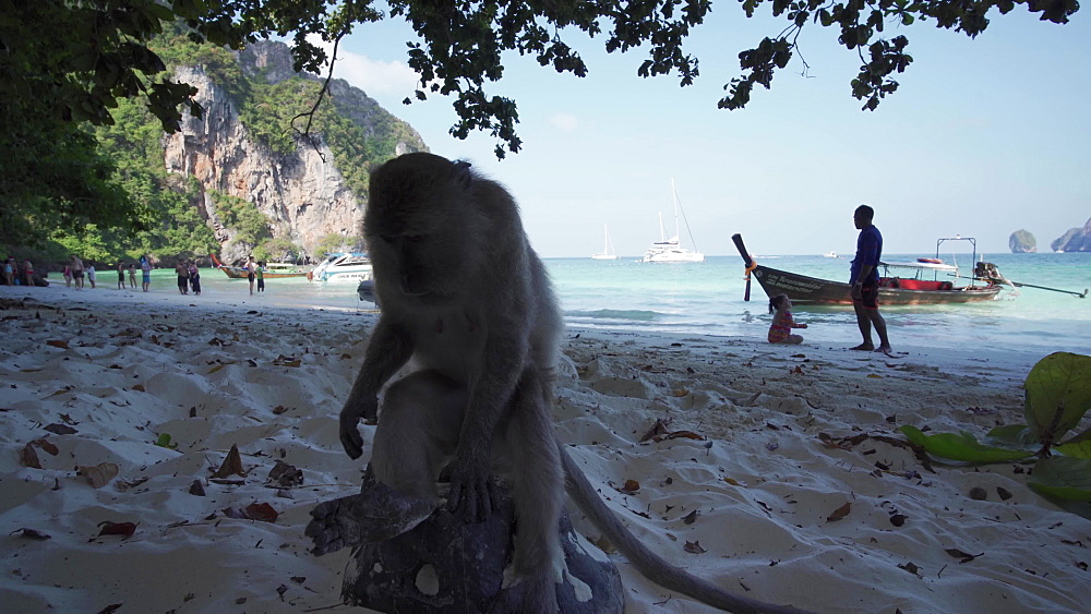 4K video of a monkey at Yong Kasem beach, known as Monkey Beach  at Christmas, Phi Phi Don Island, Thailand, Southeast Asia, Asia
