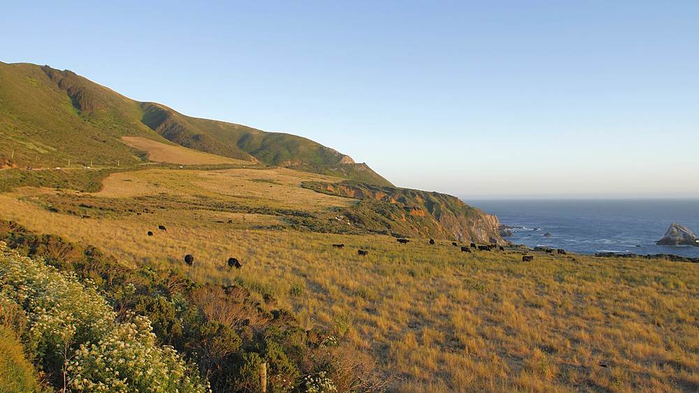 Crane shot of sunset and cows from Cabrillo Highway 1 at Big Sur, California, United States of America, North America