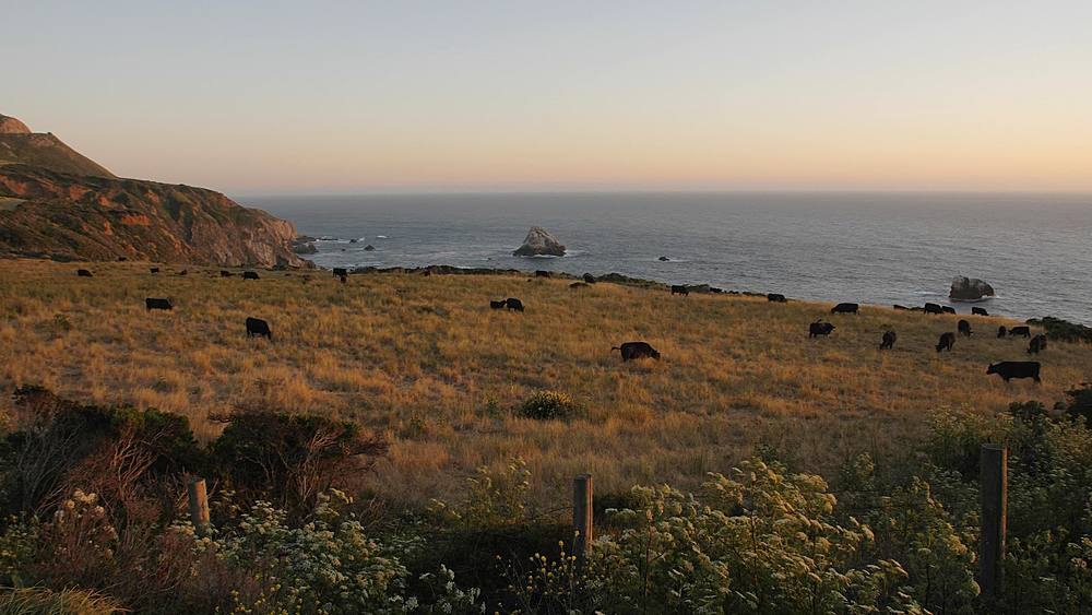 Panning hot of sunset and cows from Cabrillo Highway 1 at Big Sur, California, United States of America, North America