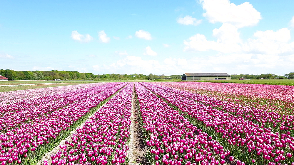 Rosa (rose coloured) tulip fields by Noordwijk, South Holland, The Netherlands, Europe - 1300-417