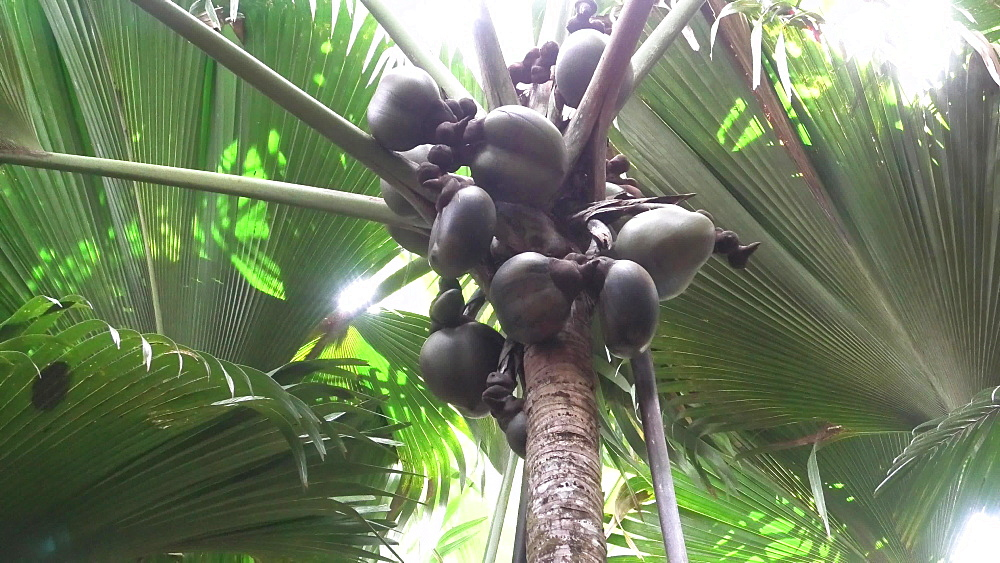 Sea coconut at Vallee de Mai Nature Reserve in Praslin, Seychelles, Indian Ocean, Africa