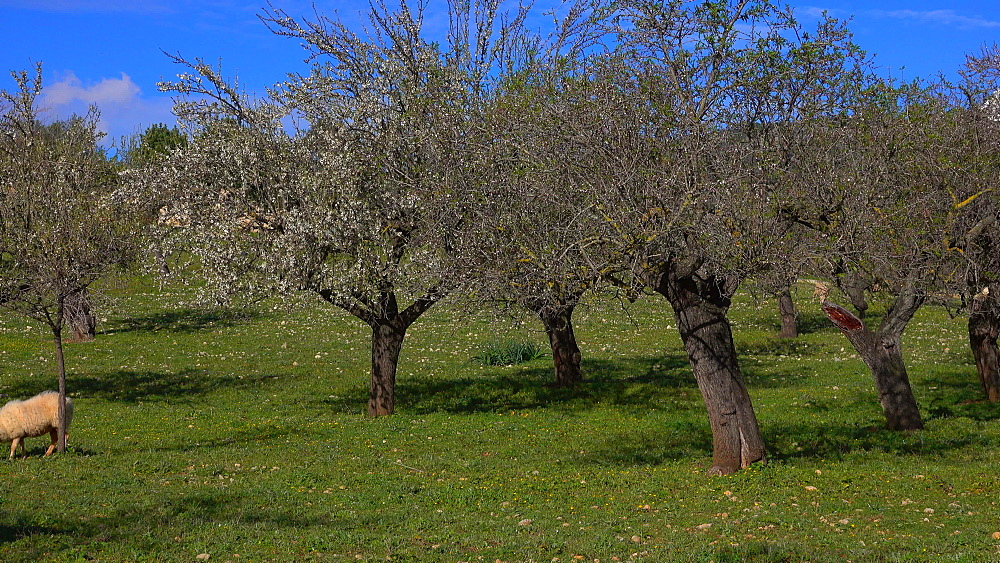 Sheep and almond trees near Selva with snow covered Tramuntana Mountains, Mallorca (Majorca), Balearic Islands, Spain, Europe