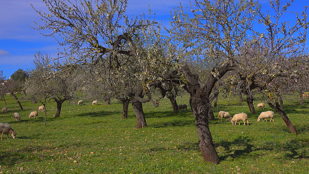 Sheep and almond trees near Selva with snow covered Tramuntana Mountains, Mallorca (Majorca), Balearic Islands, Spain, Europe