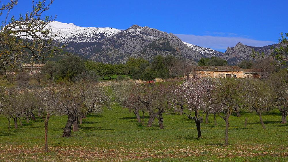 Almond trees near Selva with snow covered Tramuntana Mountains, Mallorca (Majorca), Balearic Islands, Spain, Europe