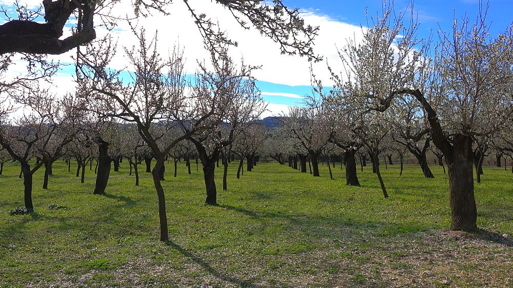 Almond trees in bloom near Selva, Mallorca (Majorca), Balearic Islands, Spain, Europe