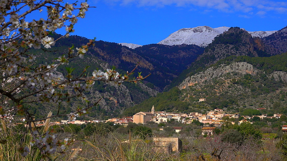 Almond trees near Binibona with snow covered Tramuntana Mountains , Mallorc (Majorca), Balearic Islands, Spain, Europe
