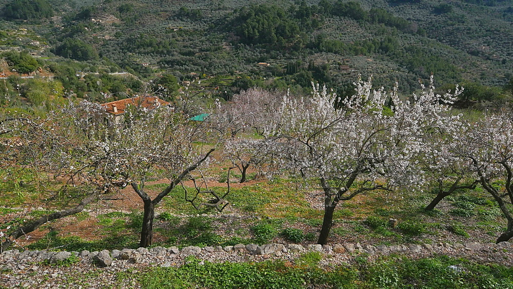 Almond trees in bloom near Fornalutx, Mallorca (Majorca), Balearic Islands, Spain, Europe