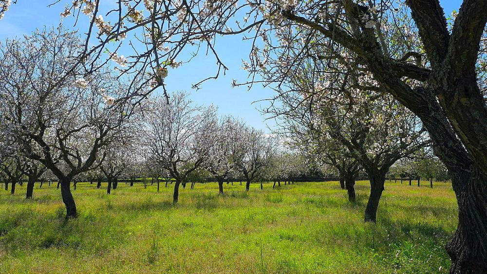 Almond trees in bloom near Porto Petro, Mallorca (Majorca), Balearic Islands, Spain, Europe