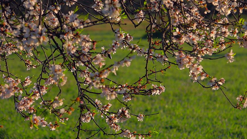 Almond trees in bloom near Santanyi, Mallorca (Majorca), Balearic Islands, Spain, Europe
