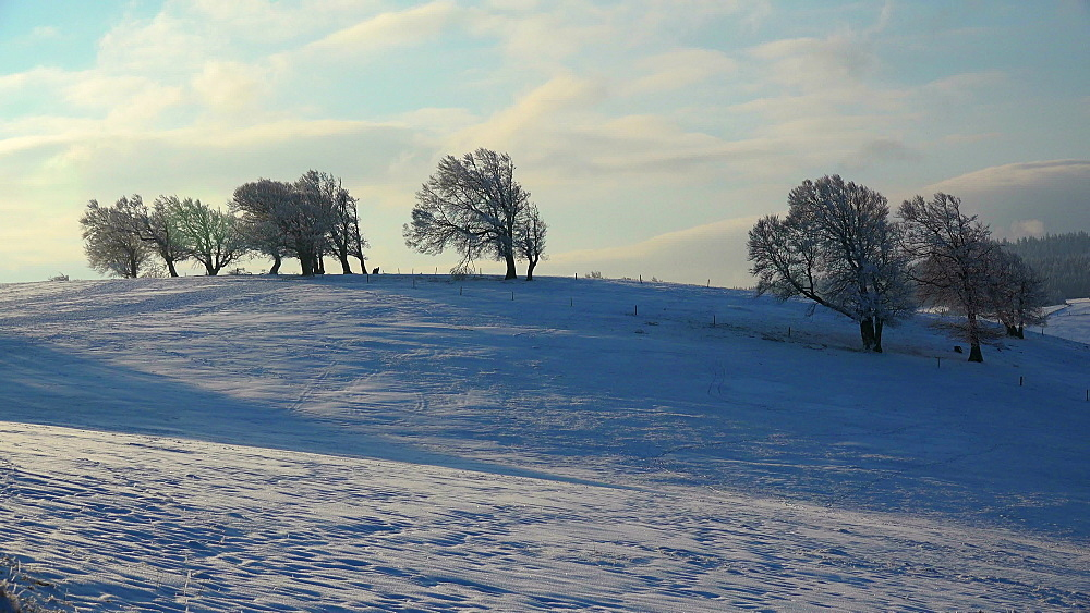 Wind shaped beeches at Schauinsland Mountain near Freiburg in winter, South Black Forest, Schwarzwald, Baden-Wuerttemberg, Germany - 396-10165