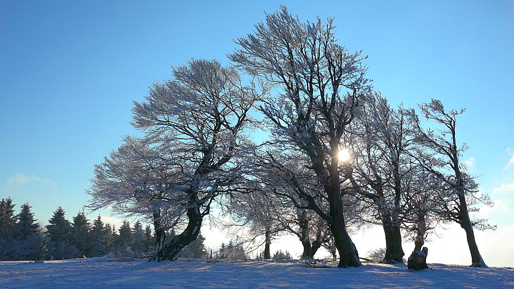 Wind shaped beeches at Schauinsland Mountain near Freiburg in winter, South Black Forest, Schwarzwald, Baden-Wuerttemberg, Germany - 396-10167