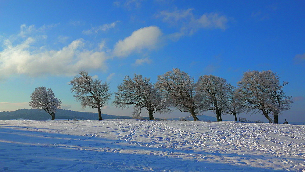 Wind shaped beeches at Schauinsland Mountain near Freiburg in winter, South Black Forest, Schwarzwald, Baden-Wuerttemberg, Germany - 396-10169