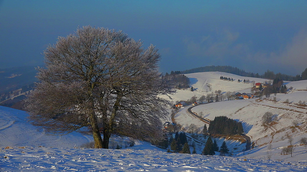 Wind shaped beeches at Schauinsland Mountain near Freiburg in winter, South Black Forest, Schwarzwald, Baden-Wuerttemberg, Germany - 396-10170
