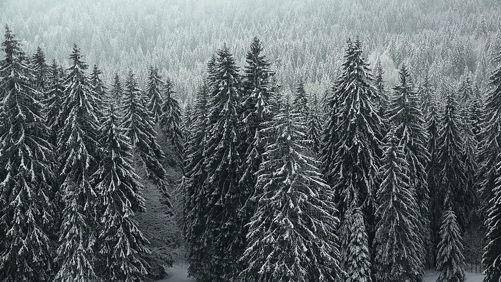 Snow covered forest at Feldberg Pass, South Black Forest, Schwarzwald, Baden-Wuerttemberg, Germany - 396-10173