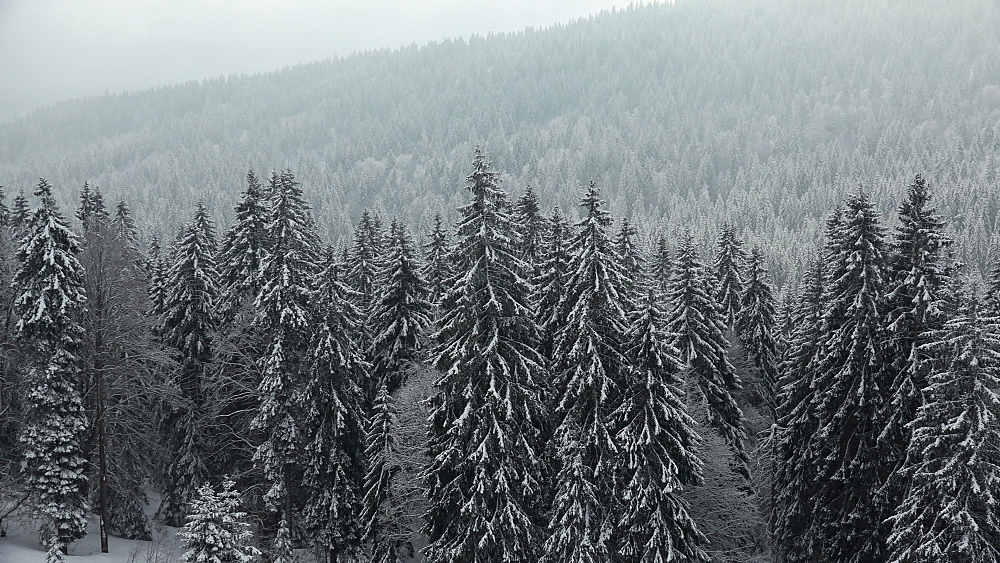 Snow covered forest at Feldberg Pass, South Black Forest, Schwarzwald, Baden-Wuerttemberg, Germany - 396-10175