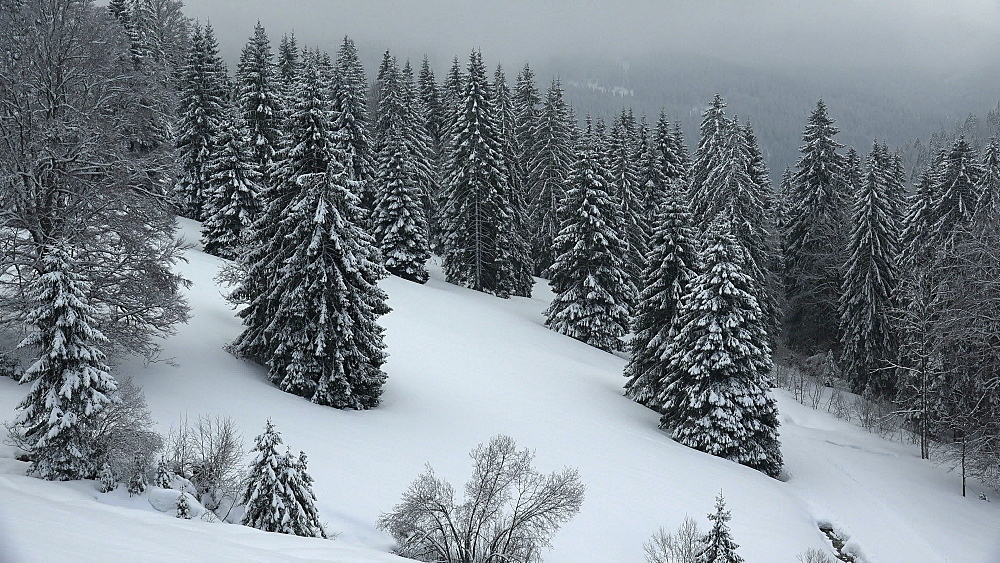Snow covered forest at Feldberg Pass, South Black Forest, Schwarzwald, Baden-Wurttemberg, Germany, Europe