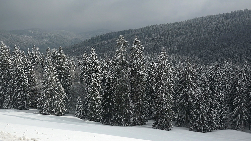 Snow covered forest at Feldberg Pass, South Black Forest, Schwarzwald, Baden-Wuerttemberg, Germany - 396-10182