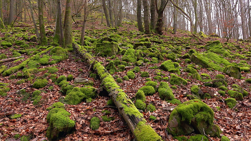 Trees in forest, Taben-Rodt, Rhineland-Palatinate, Germany, Europe - 396-10314