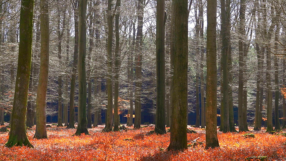 Beech forest in spring, Mettlach, Saarland, Germany, Europe