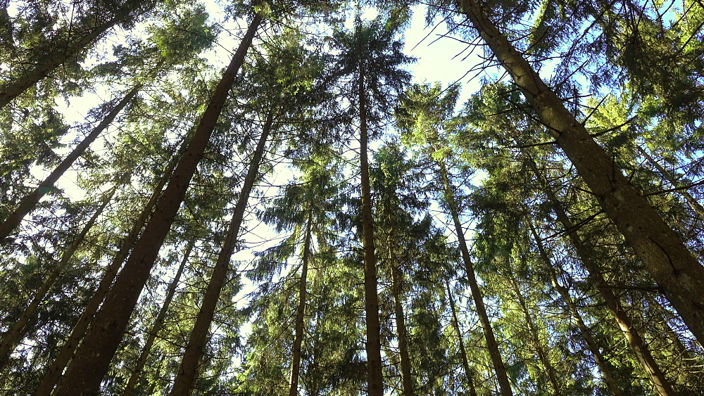 Spruce forest in spring, Mettlach, Saarland, Germany, Europe