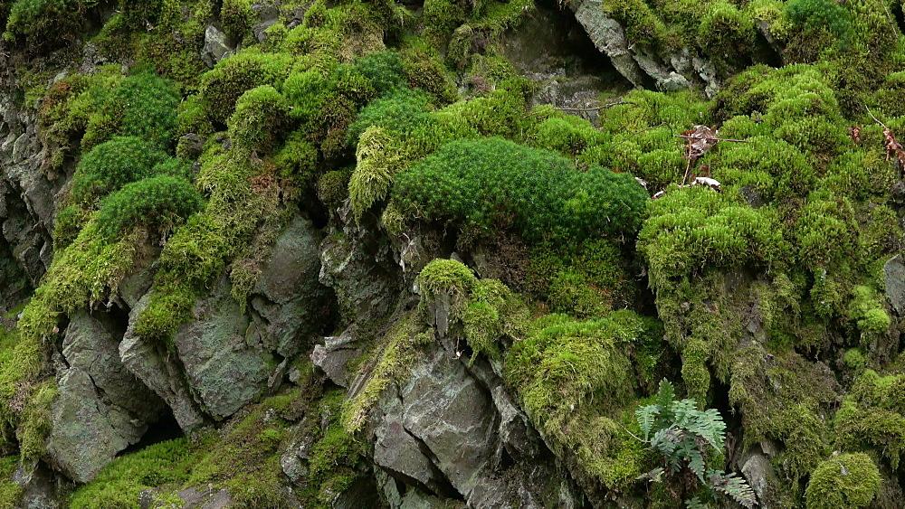 Moss on quartzite rocks, Rhineland-Palatinate, Germany, Europe - 396-10331