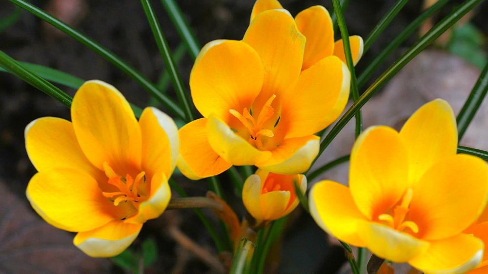 Close-up view of blooming crocus, Rhineland-Palatinate, Germany, Europe - 396-10340