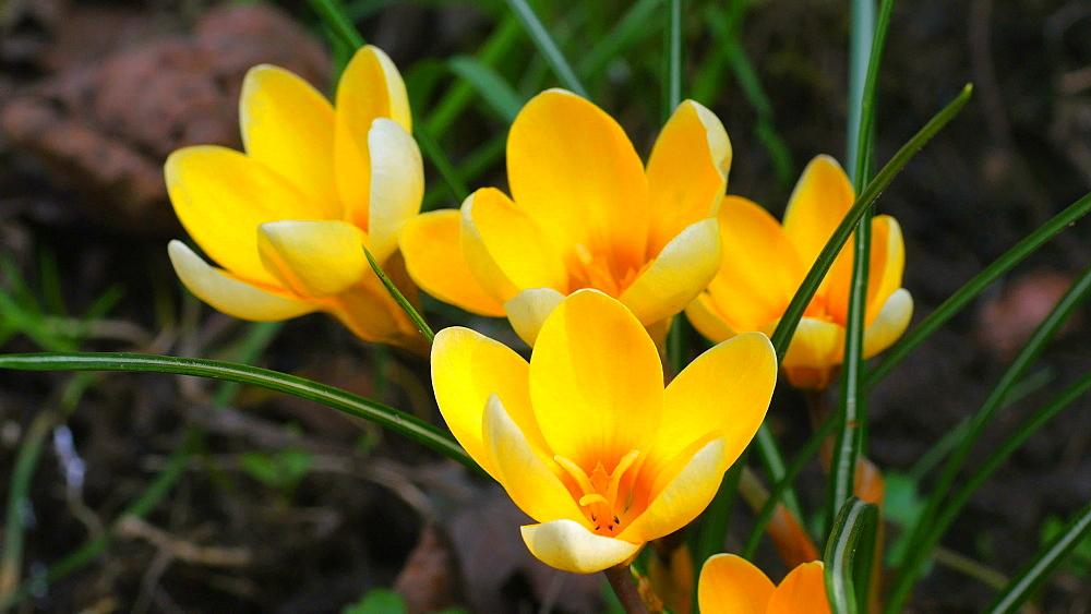 Close-up view of blooming crocus, Rhineland-Palatinate, Germany, Europe - 396-10341
