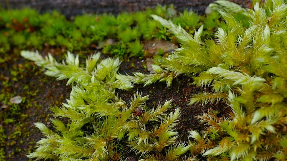 Close-up view of moss on sandstone rock, Rhineland-Palatinate, Germany, Europe - 396-10342
